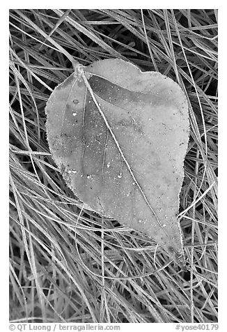 Close-up of Frosted aspen leaf. Yosemite National Park (black and white)