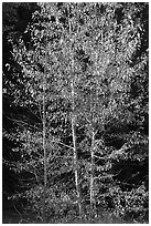 Backlit aspen. Yosemite National Park ( black and white)
