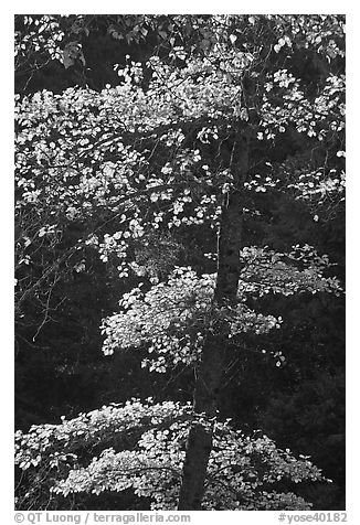 Backlit tree with autum leaves. Yosemite National Park (black and white)