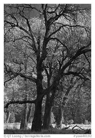 Oaks and sparse autum leaves, El Capitan Meadow. Yosemite National Park (black and white)