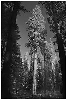 Mariposa Grove of sequoia trees. Yosemite National Park ( black and white)