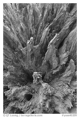 Roots of fallen sequoia tree, Mariposa Grove. Yosemite National Park (black and white)