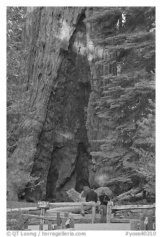 Couple at  base of  Grizzly Giant sequoia. Yosemite National Park (black and white)