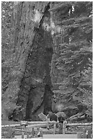 Couple at  base of  Grizzly Giant sequoia. Yosemite National Park, California, USA. (black and white)