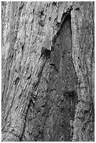 Bark detail of oldest tree in Mariposa Grove. Yosemite National Park, California, USA. (black and white)