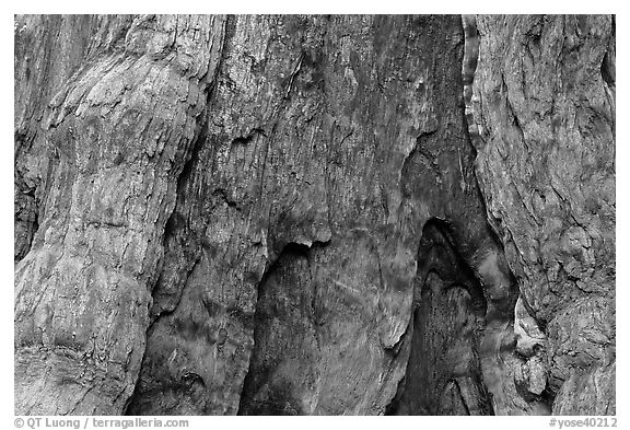 Fire scar on oldest sequoia in Mariposa Grove. Yosemite National Park (black and white)