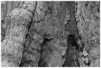 Fire scar on oldest sequoia in Mariposa Grove. Yosemite National Park, California, USA. (black and white)