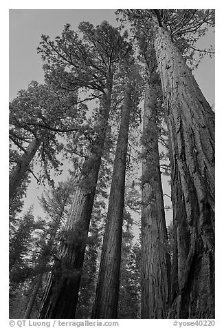 Sequoia trees at dusk, Mariposa Grove. Yosemite National Park (black and white)