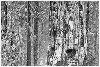 Giant Sequoia plastered with snow, Tuolumne Grove. Yosemite National Park ( black and white)