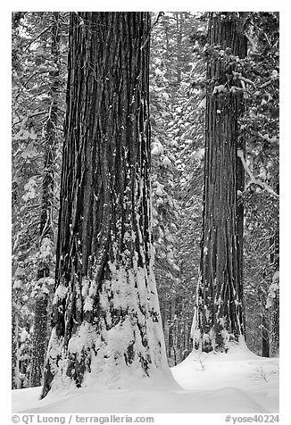 Sequoias and snowy trees, Tuolumne Grove. Yosemite National Park, California, USA.