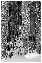 Sequoias and snowy trees, Tuolumne Grove. Yosemite National Park ( black and white)
