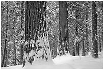 Tuolumne Grove of giant sequoias in winter. Yosemite National Park, California, USA. (black and white)