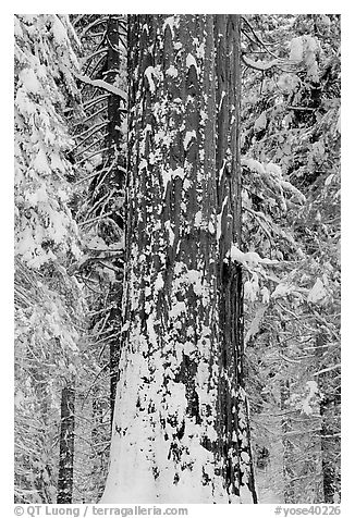 Sequoia trunk and snow-covered trees, Tuolumne Grove. Yosemite National Park (black and white)