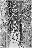 Sequoia trunk and snow-covered trees, Tuolumne Grove. Yosemite National Park, California, USA. (black and white)