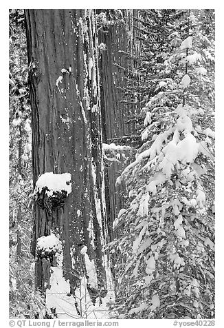 Giant Sequoias trees in winter, Tuolumne Grove. Yosemite National Park (black and white)
