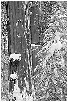 Giant Sequoias trees in winter, Tuolumne Grove. Yosemite National Park ( black and white)