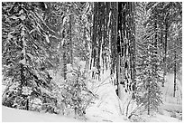 Sequoia forest in winter, Tuolumne Grove. Yosemite National Park ( black and white)