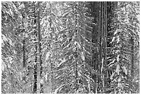 Wintry forest with sequoias and conifers, Tuolumne Grove. Yosemite National Park ( black and white)