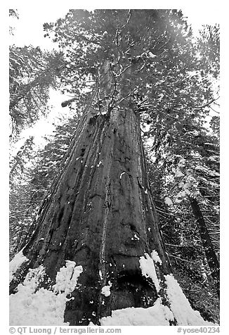 Giant sequoia seen from the base with fresh snow, Tuolumne Grove. Yosemite National Park (black and white)