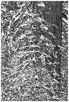 Tree branches and tree trunks with fresh snow, Tuolumne Grove. Yosemite National Park ( black and white)