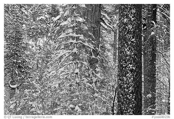 Snowy forest  and tree trunks, Tuolumne Grove. Yosemite National Park, California, USA.