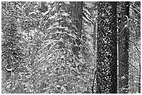 Snowy forest  and tree trunks, Tuolumne Grove. Yosemite National Park ( black and white)