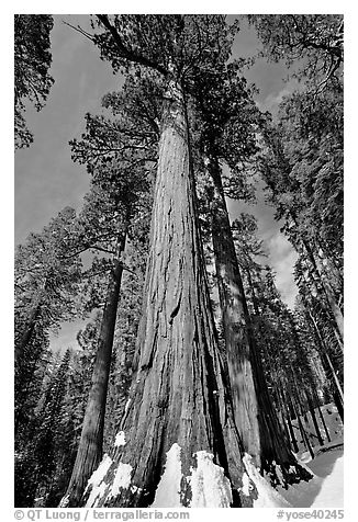 Sequoia tree named the Bachelor in winter. Yosemite National Park (black and white)