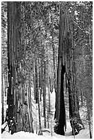Clothespin Tree and another sequoia, Mariposa Grove. Yosemite National Park, California, USA. (black and white)