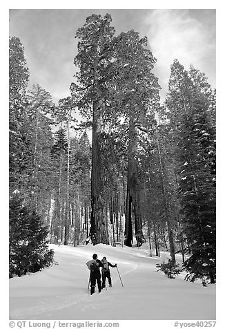 Skiing towards the Clothespin tree, Mariposa Grove. Yosemite National Park (black and white)