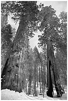 Two giant sequoia trees, one with a large opening in trunk, Mariposa Grove. Yosemite National Park, California, USA. (black and white)