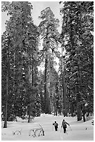 Backcountry skiiers and Giant Sequoia trees, Upper Mariposa Grove. Yosemite National Park, California, USA. (black and white)