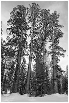 Upper Mariposa Grove in winter. Yosemite National Park ( black and white)