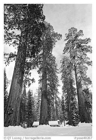 Upper Mariposa Grove and Mariposa Grove Museum in winter. Yosemite National Park (black and white)