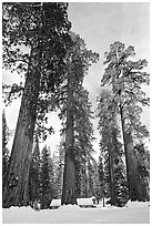 Upper Mariposa Grove and Mariposa Grove Museum in winter. Yosemite National Park ( black and white)
