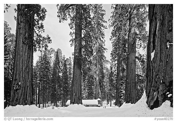 Giant sequoias, Upper Mariposa Grove, Museum, and snow. Yosemite National Park (black and white)