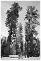 Big trees, and Mariposa Grove Museum in winter. Yosemite National Park, California, USA. (black and white)