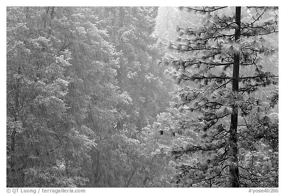 Forest during snowstorm, Wawona. Yosemite National Park (black and white)