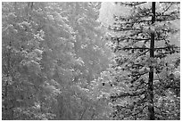 Forest during snowstorm, Wawona. Yosemite National Park ( black and white)