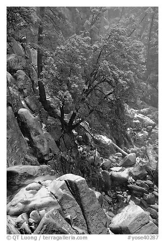 Rocks and tree with fresh snow, Wawona. Yosemite National Park (black and white)