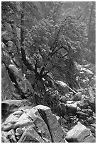 Rocks and tree with fresh snow, Wawona. Yosemite National Park ( black and white)