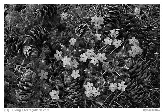Pine cones and flowers, Hetch Hetchy Valley. Yosemite National Park, California, USA.