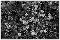 Pine cones and flowers, Hetch Hetchy Valley. Yosemite National Park, California, USA. (black and white)