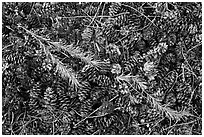 Close-up of pine cones and needles. Yosemite National Park ( black and white)