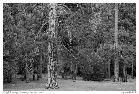 Lodgepole pine and forest. Yosemite National Park (black and white)