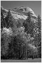 Apple tree in bloom and North Dome. Yosemite National Park ( black and white)