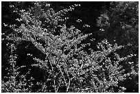 Redbud tree in bloom, Lower Merced Canyon. Yosemite National Park, California, USA. (black and white)
