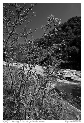 Redbud tree and Merced River, Lower Merced Canyon. Yosemite National Park (black and white)