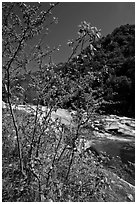 Redbud tree and Merced River, Lower Merced Canyon. Yosemite National Park, California, USA. (black and white)