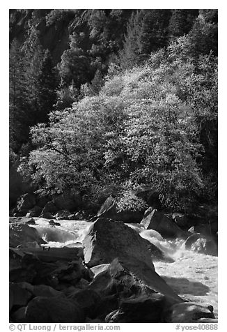 Tree recently leafed out and Merced River. Yosemite National Park (black and white)