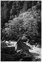 Tree recently leafed out and Merced River. Yosemite National Park ( black and white)